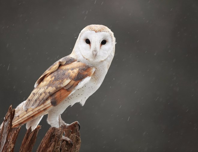 Owl standing on a tree stump